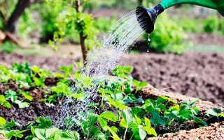 Клубника Виктория – особенности полива и удобрения, возможные болезни и проблемы с растением