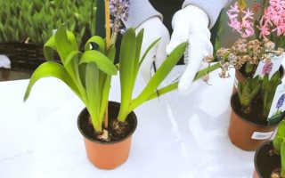 Гиацинт после цветения в горшке – как обрезать, что делать с луковицами?