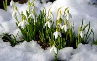 Весенние цветы – описание фиалки, нарцисса, ветреницы, тюльпана, калужницы и других культур