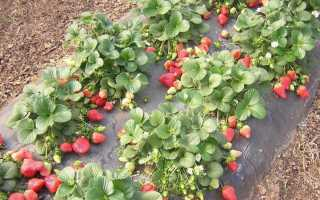 Полевая клубника – как правильно посадить и ухаживать, как быстро собирать ягоды?