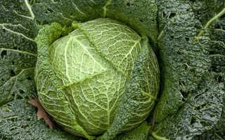 Польза капусты – чем полезна брокколи, брюссельская, цветаная, савойская, пекинская капуста для организма?