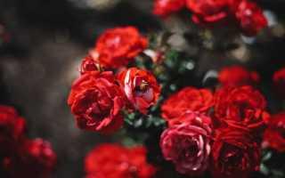 Посадка роз осенью в открытый грунт – особенности проведения процедуры для разных видов роз
