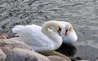 Это любовь! 12 животных, которые образуют брачные союзы на всю жизнь