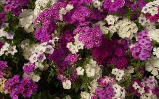Однолетние флоксы – выращивание из семян, когда сажать на рассаду, посев и пикировка