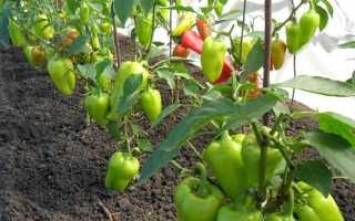 Чем подкормить перец после высадки в грунт – минеральные и органические удобрения