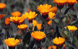 Как выглядят цветы ноготки, календула – выращивание из семян, уход