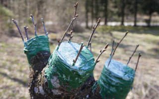Прививка деревьев весной – сроки, время прививки, что нужно подготовить для работы, особенности разных способов