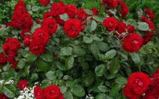 Желтые розы – как правильно сажать и ухаживать, с чем лучше сочетать в ландшафтном дизайне