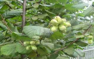 Лещина – полезные свойства и противопоказания к применению плодов, коры и листьев орешника лещина