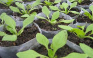 Чем подкормить петунию для обильного цветения – дрожжами, мочевиной, зола для петуний