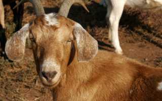 Нубийские козы – особенности содержания и ухода, правила кормления, примеры интересных кличек