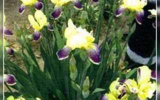 Бородатые ирисы – где лучше высадить ирисы и как правильно ухаживать за цветником?