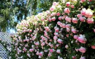 Плетистая роза – как правильно сажать и ухаживать за растением, особенности размножения и пересадки