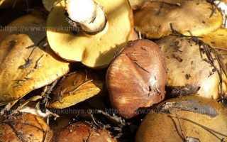 Как обработать и приготовить маслята, как выглядят грибы, способы их очистки и варианты вкусных блюд