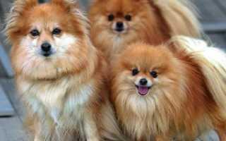 Померанский шпиц – как выбрать щенка, особенности ухода и содержания, правила дрессировки