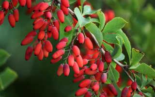 Кустарник барбарис – особенности полива, удобрения, обрезки и пересадки, возможные болезни