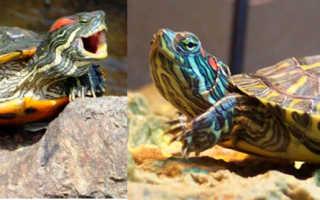 Почему черепаха не ест – что делать, сколько может не есть черепаха?