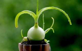 Индийский лук – лечебные свойства и применение в народной медицине. Цветок птицемлечник (индийский лук) – лечение суставов, рецепт настойки