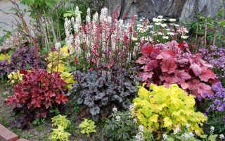 Гейхера – посадка и уход в открытом грунте, выращивание в саду