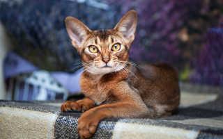 Абиссинская кошка – стандарты породы, основные плюсы и минусы, рекомендации по питанию
