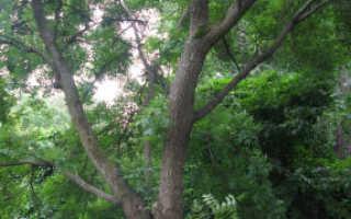 Бархат амурский – где растет пробковое дерево? Амурский бархат, ягода – лечебные свойства