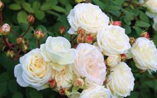 Розы шрабы – особенности ухода, выращивание в горшке, как использовать в ландшафтном дизайне?